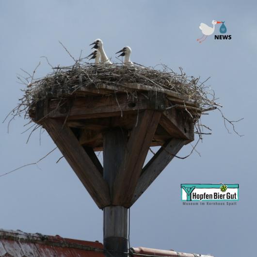 Störche auf dem Dach des HopfenBierGutes
